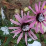 Zasnežené kvety